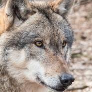 Wolf Eriksen